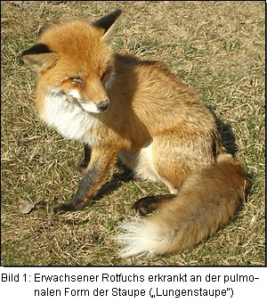 """Bild 1: Erwachsener Rotfuchs erkrankt an der pulmonalen Form der Staupe (""""Lungenstaupe"""")"""