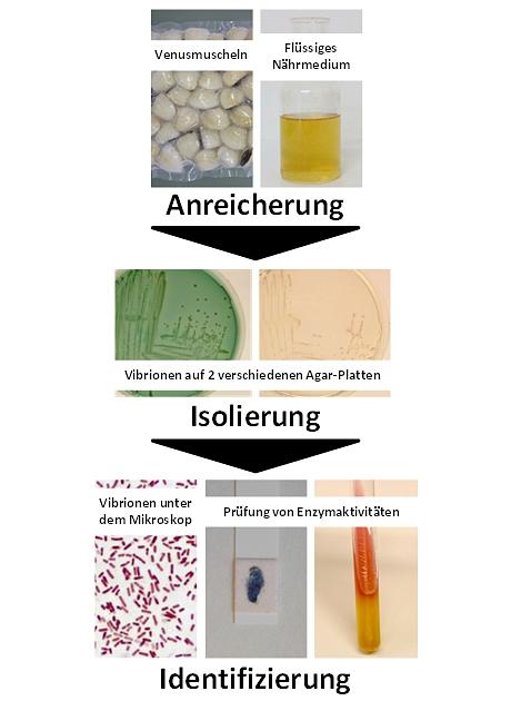 Abbildung 2: Ablauf der Vibrionen-Untersuchung