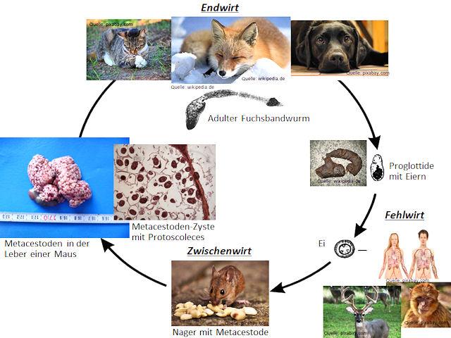 Entwicklungszyklus von E. multiocularis