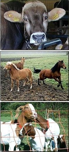 Rind, Pferde, Ziegen
