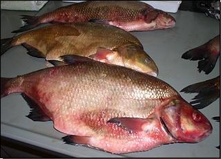 Fischproben