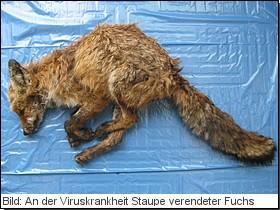 Bild: An der Viruskrankheit Staupe verendeter Fuchs