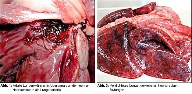 hochgradiger Befall mit dem Lungenwurm Angiostrongylus vasorum