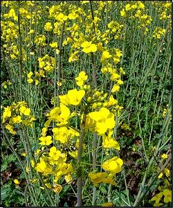 Rapspflanze