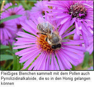 Sammelnde Honigbiene