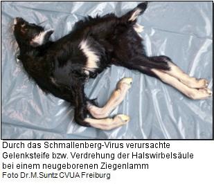 Missbildungen durch Schmallenberg-Virus