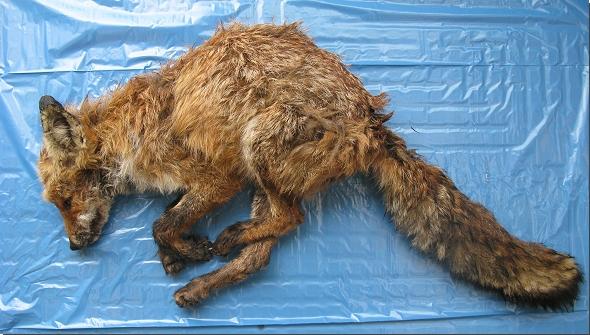 Abb. 1: Verendeter Fuchs