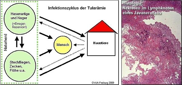 Bild 1: Infektionszyklus der Tularämie; Bild 2: Histologie, Nekrosen im Lymphknoten eines Javaneraffens