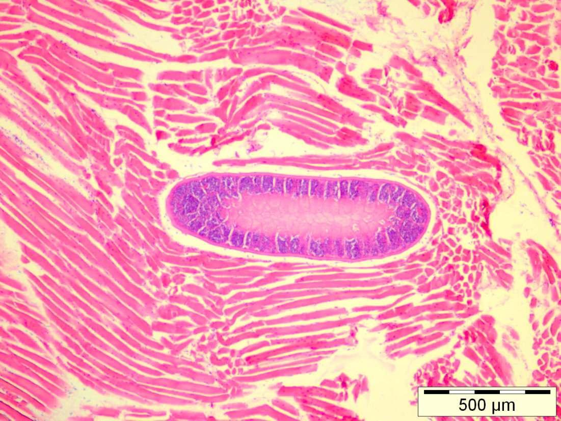 Abb 1.Histologischer Längsschnitt: Sarcocystis spp. aus Rentier, Hämatoxylin-Eosin-Färbung.