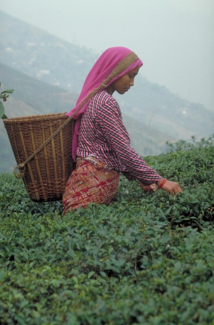 Teepflückerin in Darjeeling, www.teeverband.de