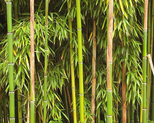 bambus durlach