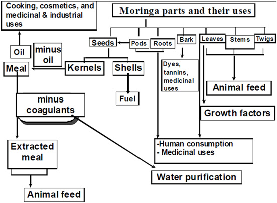 "Abbildung 2: Diagramm ""Moringa parts and their uses"", Bildquelle [1]."