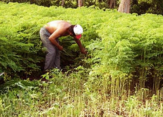 frische moringa blätter