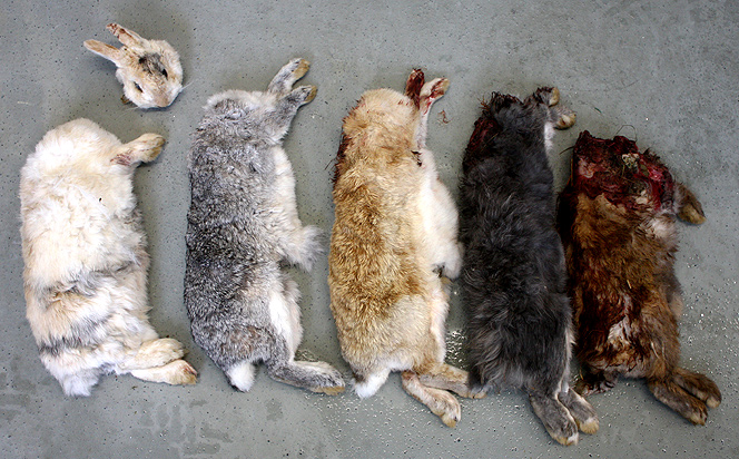 Totes Kaninchen