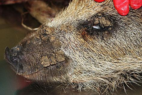 räude bei wildschweinen