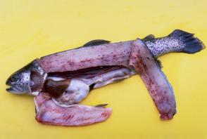 Foto: Sektion einer kranken Forelle.
