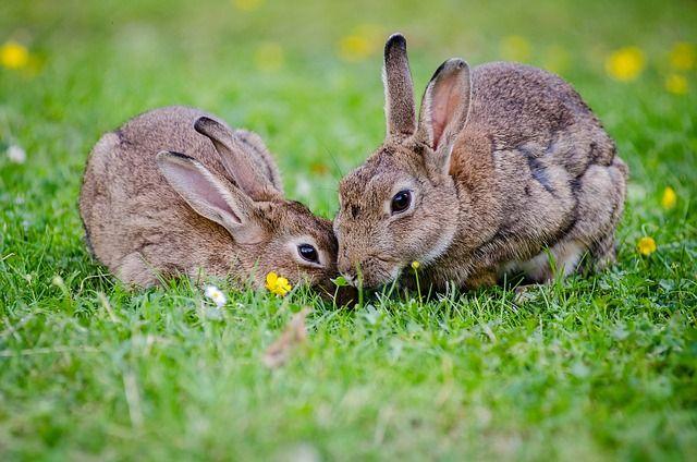 Das Foto zeigt zwei Häschen auf einer Blumenwiese.