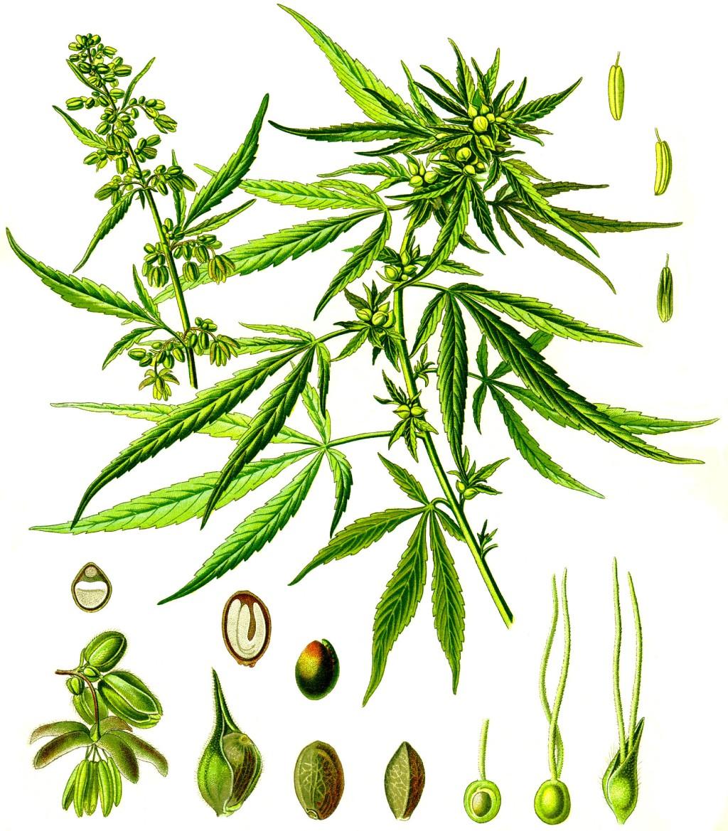 Die Abbildung zeigt eine Zeichnung von Pflanze, Blüten, Früchten und Samen der Hanfpflanze  Cannabis sativa L.