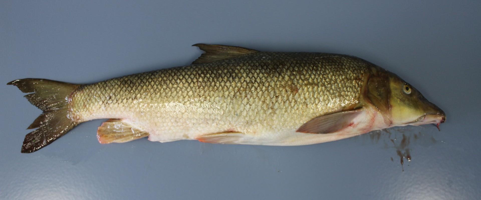Eine ganze Barbe (Fisch) aus dem Altrhein wird nach dem Probeneingang im Labor gezeigt.