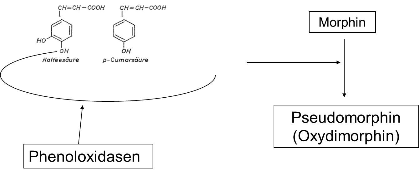 Darstellung von Abbau von Morphin zu Oxydimorphin.