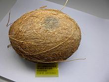 Kokosnüsse mit Schäden an der Schale, Quelle: CVUA Sigmaringen.